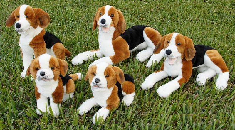 animal testing on dogs. beagle dog full body animal