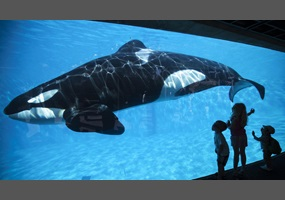 should orcas be kept in captivity There are no reasons orcas should remain in captivity one hundred and fifty orcas have been removed from the wild, and 127 of these whales are now dead.