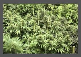 marijuan should remain illegal Republican lawmaker says marijuana should be illegal because of african american 'genetics said that marijuana should remain illegal in the state because.