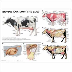 Anatomy of Cow Udder http://www.monstermarketplace.com/fun-science-educational-products/bovine-anatomy-the-cow-anatomical-chart