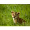 Cutest lion in the world - photo#50