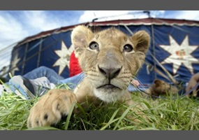 The performance of animals in circuses should be banned