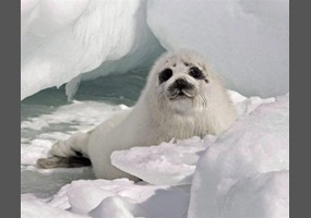 Canadian Seal Hunt Facts